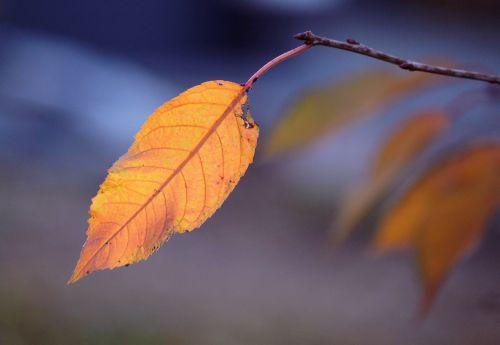 lapai,lapai,ruduo,palieka rudenį,kritimo lapija,aukso ruduo,medis,rudens spalvos,kritimo lapai,auksinis,spinduliai,šviesa,geltona,auksas,gražus,spalvinga,kritimo spalva,filialas,Uždaryti,makro,lapų struktūros,gamta,struktūra,augalas,spalvoti lapai,farbenpracht,ryškios spalvos