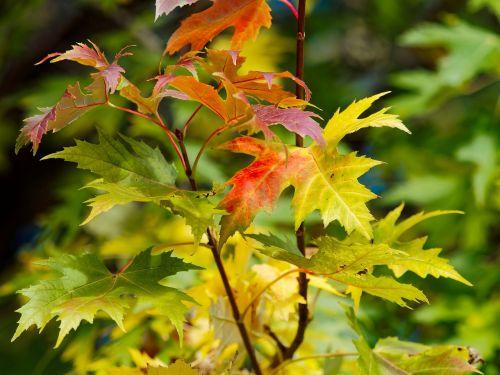 lapai,klevai,raudoni lapai,klevo lapai,kritimas,rudens lapas,rudens lapai,raudonas lapas,medis,ruduo,medžių lapai,klevas,klevo lapas,spalva,gamta,raudona,negyvas lapelis