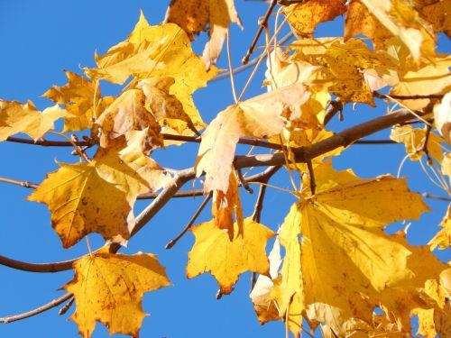 lapai,ruduo,geltona,kritimo lapija,aukso ruduo,filialai
