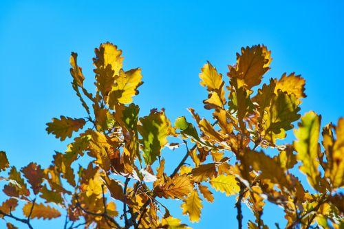 lapai,medis,filialas,miškas,ruduo,makro,mėlynas,gamta,žalias,augalas,sausas lapai,lapai yra,dangus,geltona,saulės šviesa,gyventi