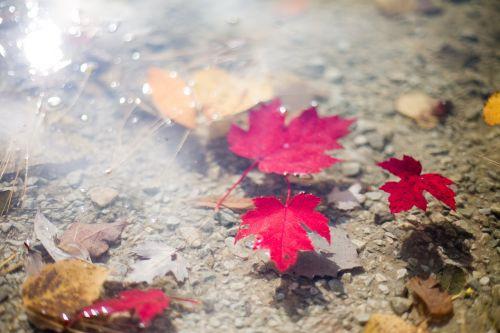 lapai,kritimo lapai,rudens lapai,lapai plūduriuoja,vanduo,plūduriuojantys lapai,spalvinga,kritimas,raudona