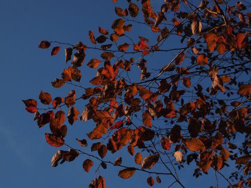 lapai,raudona,ruduo,dažymas,kraujo slyva,raudonas lapas,vyšnių slyva,prunus cerasifera,medis,augalas,flora,laukinė slyva,myrobalan,rožių šiltnamius,rosaceae,turkų vyšnios,Turkijos vyšnios,daergelkersch,sterninkel,spygliuotas medis,kriachlbaum