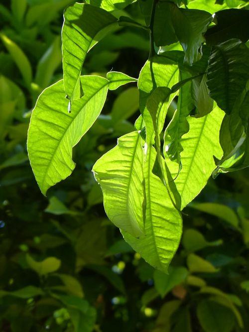 lapai, farbenspiel, žaliųjų atspalvių, šviesus
