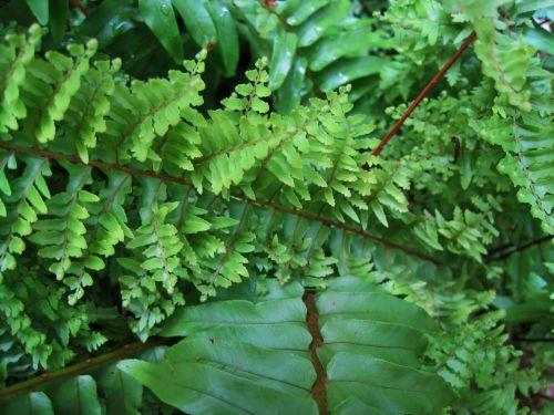 lapai, lankstinukai, žalias, papartis, frilly, lygus, lapų paparčio augalas