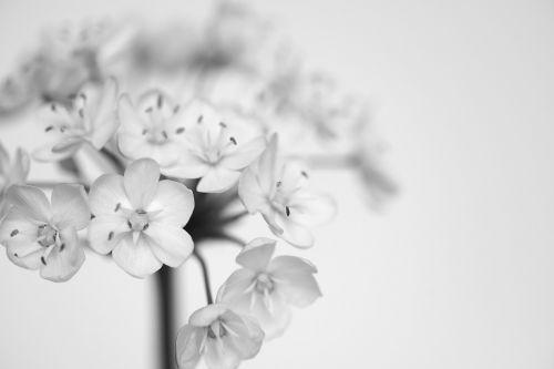 porai žiedai,balta,juodos ir baltos spalvos įrašymas,gėlės,mažos gėlės,baltos gėlės,Uždaryti