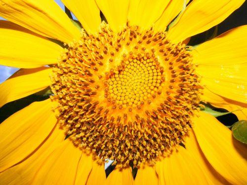 lehigh acres,florida,saulėgrąžos,saulėgrąžos,gėlės,geltona,vasara,saulė,saulėgražos sėkla,gėlė,gamta
