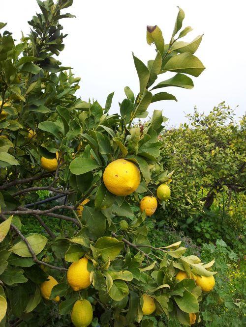 citrina,Crete,medis