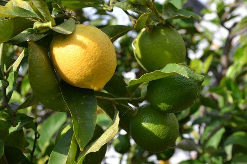 citrina,lapai,vaisiai