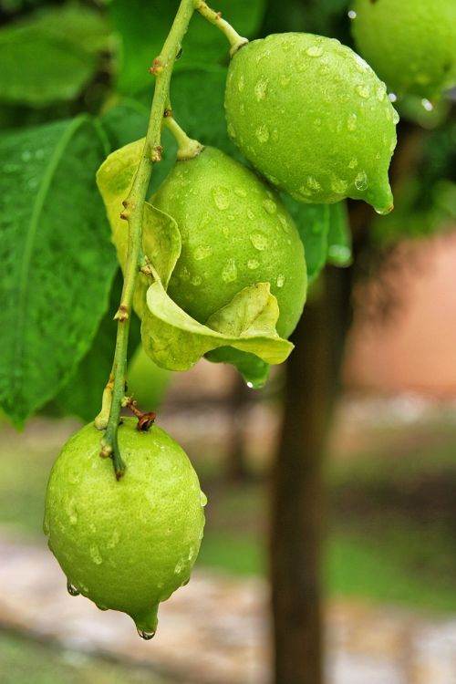 citrina,medis,žalias