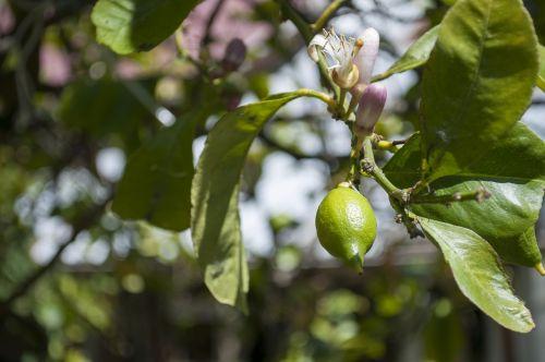 citrina,vaisiai,medis