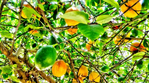 medis, citrina, citrinos, Gerai, vaisiai, sveikata, šviežias, sveikas, citrina & nbsp, pagalba, geltona, citrina