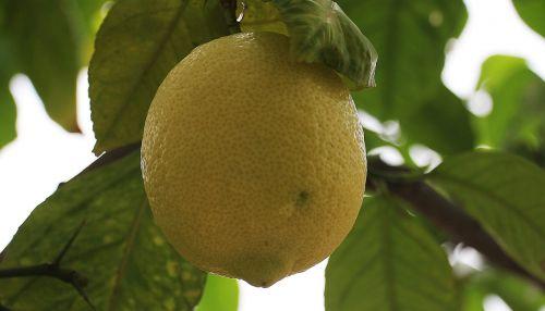 citrina,Citrusinis vaisius,citrinmedis,maistas,citrusiniai,vitaminai,geltona,vaisiai,medis,sveikas,į sveikatą,valgyti,rūgštus,maisto uogos,frisch,mityba,vasara,vitamino C