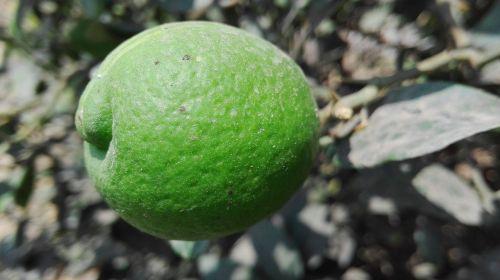 citrina,augalas