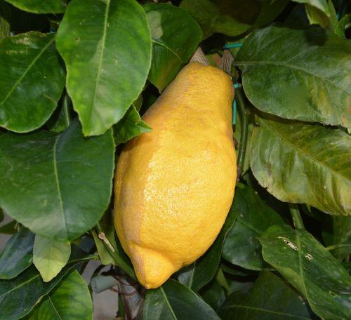 citrina,citrusiniai,citrinmedis,sultys,citrusiniai limonai,žalias,vaisiai