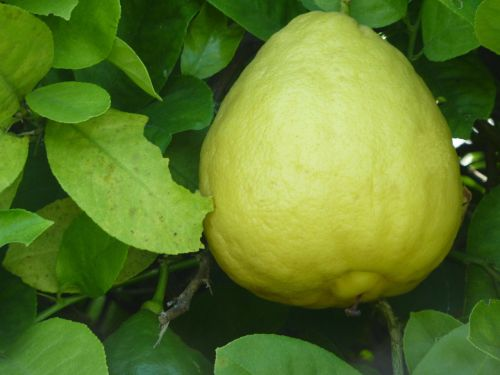 citrina,ponderosa citrina,vaisiai,rūgštus,maistas,citrusiniai,sveikas,mityba,sultingas,geltona,Citrusinis vaisius,sultys,gamta,skanus,lapai,sodas,ekologiškas,sodininkystė,augalas,Sveikas maistas,skanus