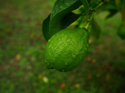 citrina,žalias,filialai,vaisiai,medis,žalia citrina,gamta,citrinmedis,laimai,sodas,lapai,citrusiniai,citrusiniai limonai,lapija