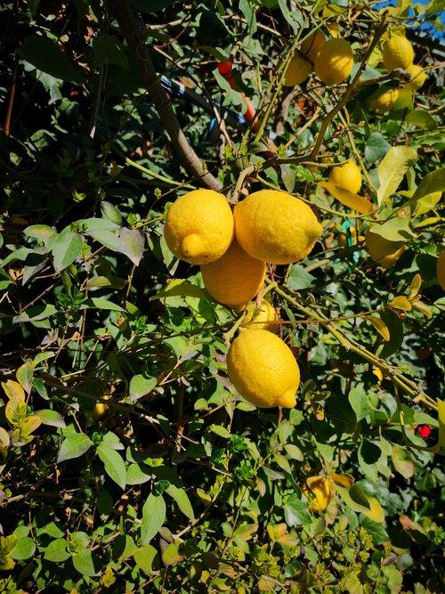 citrina, citrusinių, vaisių, vitaminai