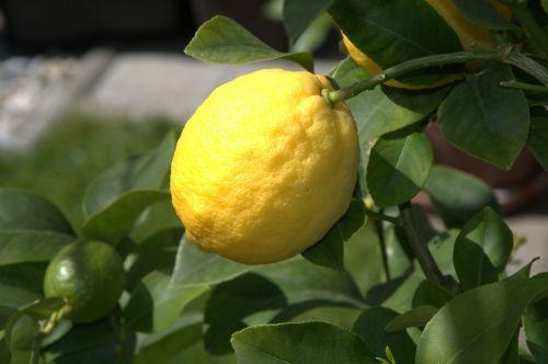 citrina,Citrusinis vaisius,vaisiai,geltona,rūgštus,sultingas,vasara,prinokę