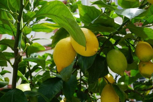 citrina,medis,žalias,rūgštus,vaisiai,citrinmedis