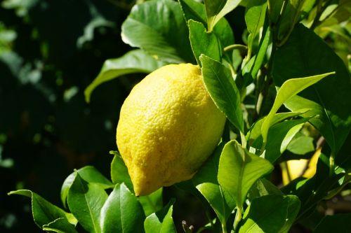 citrina, citrusiniai, medis, Citrusiniai vaisiai, Viduržemio jūros