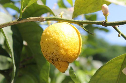 citrina, citrinmedis, medis, geltona, rūgštus, vaisiai, citrusiniai, Viduržemio jūros, prinokę, derlius