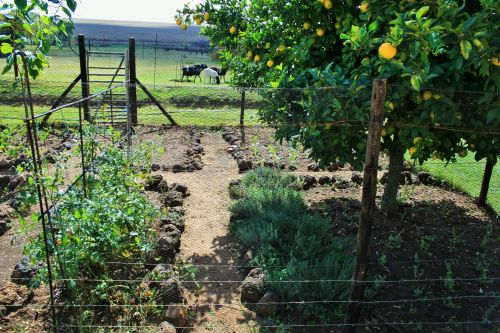 medis, citrina, sodas, daržovių, ūkis, citrinmedis daržovių sode