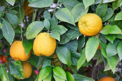 citrinos,citrinmedis,citrusiniai,Citrusiniai vaisiai,Viduržemio jūros sodas
