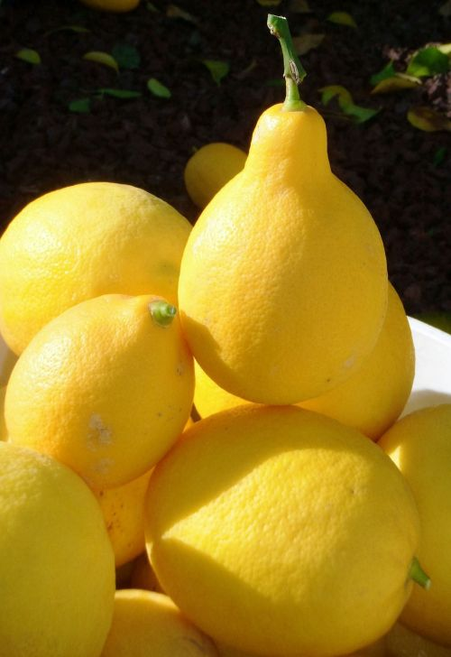 citrinos,derlius,vaisiai,geltona,citrusiniai,prinokę,sveikas,šviežias,gamta,sodas,rūgštus