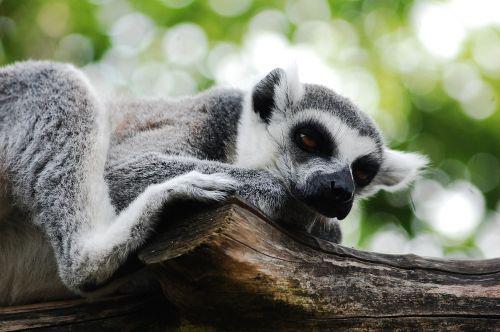 lemūrai,sėdi,zoologijos sodas,aišku,zoologijos sodas,gyvūnas,lemurs,žinduolis,laukinis gyvūnas,tingumas,miega