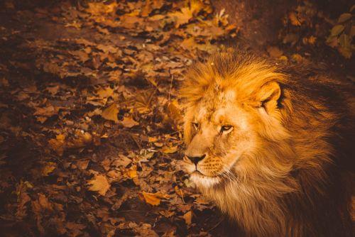 leo,ruduo,gyvūnas