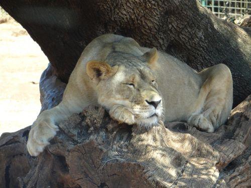 leo,liūtas,safari