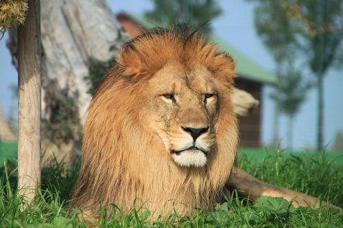 leo,gyvūnas,savana
