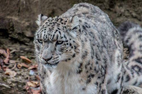 sniego leopardas,leopardas,irbis,didelė katė,plėšrūnas,kilnus,dėmės,gyvūnų portretas,panthera uncia,baltas leopardas