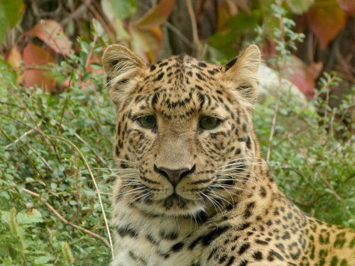 leopardas,kinų leopardas,didelė katė,jaunas,portretas,zoologijos sodas
