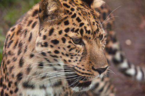 gyvūnas, didelis, mėsėdis, katė, pavojingas, kačių, medžiotojas, leopardas, žiūri, žinduolis, portretas, plėšrūnas, dėmės, laukiniai, laukinė gamta, zoologijos sodas, akys, leopardas žiūri