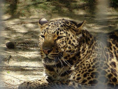 leopardas dėmėtojo, gyvūnas