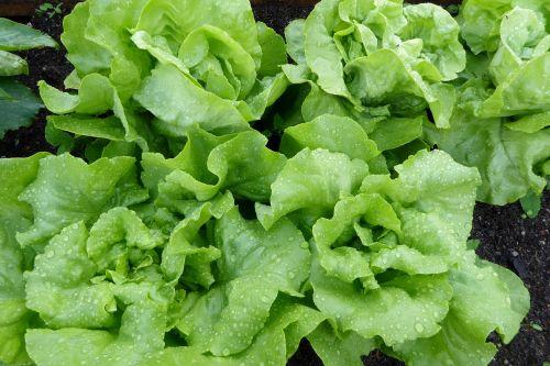 salotos,salotos,lapų salotos,žalias,lova,salotos salotos,daržovės,šaltas maistas,bio,frisch,maistas,valgyti,traškus,sveikas,starteris,daržovių sodas,sodininkystė,lašas vandens,salotų galvutė,vitaminai