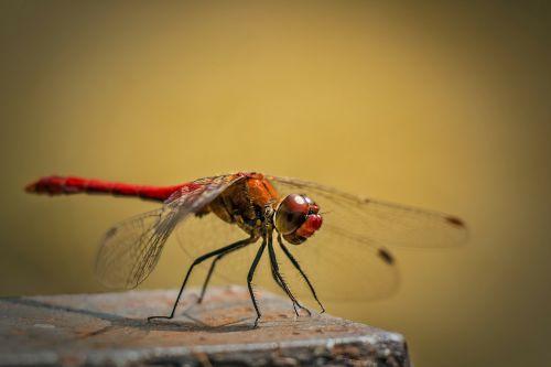 simpetrum vulgatum,paprastoji lazda,raudona lazda,lazda,vabzdys,vabzdžiai,gamta,makro