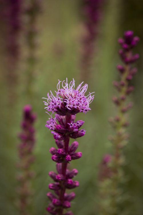 liatris spicata,spindesys,krūmas,gėlė,augalas,žydėti,kompozitai