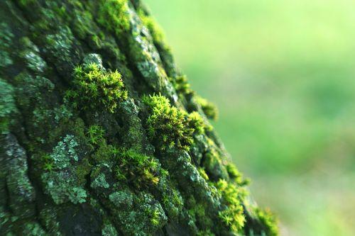 kerpės,žievė,medis,samanos,žalias,miškas,senas,natūralus,gamta,Eime,próchniejący atsargų,konary,samanos,medžio sija