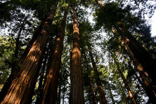miškas, medžiai, saulės šviesa, švytėjimas, apšviesta & nbsp, saule, Redwoods, žalias, lapai, žievė, miškai, aukštas, apšviesta miške