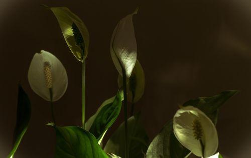 žibintai,gėlės,dekoratyvinė gėlė,gamta,augalas,augmenija,apšvietimas,graži brazilija,Brazilija