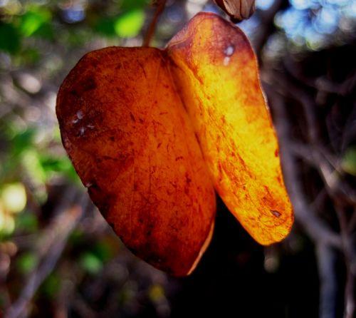 lapai, dvigubas, sulankstytas, apvalus, geltona, šviesus, pasididžiavimas & nbsp, viršūnė, kaip abu drugeliai geltonieji lapai