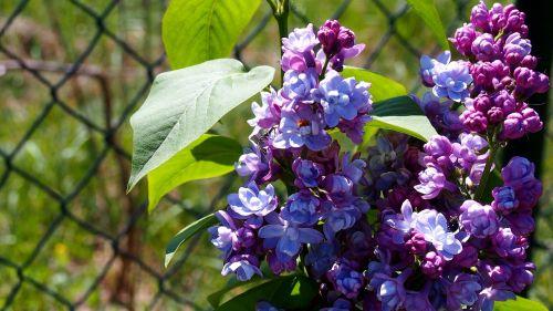 Alyva,be,gėlė,sodas,gamta,augalas,violetinė,pavasaris,sodo augalas,makro,žydėjimas,be lilac,žydi,Iš arti,sodo gėlės,sodo krūmai,gėlių pumpurai