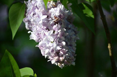 alyvinė, gėlės, pavasaris, spyruoklė laikas, Pavasaris, žydi, pobūdį, augalų, žalias, violetinė, žydi, žydi, kvapus, Sunny, gėlių, lapas
