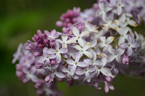 alyvinė, Iš arti, pobūdį, pavasaris, gėlė, gėlių, žydi, žydi, žiedas, žydi, levandų, violetinė, baltos spalvos, lauke, medis, botanika, šviežias, parkai, aromatas, gardus