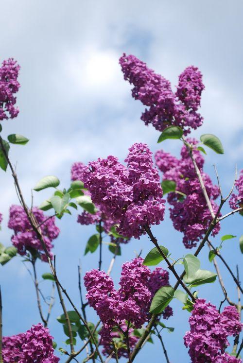 Alyva,gėlės,alyvuogių šakos,augalas,sodas,žydėti,krūmas,violetinė,aromatingas,dekoratyvinis krūmas,alyvinė krūmas