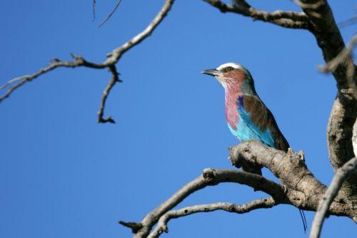 alyvmedžių volelis,paukštis,spalvingos plunksnos,laukinė gamta,afrika,filialas