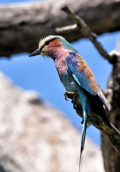 alyvinis krūtinės volelis,paukštis,pietų Afrika,kruger parkas,gyvūnas