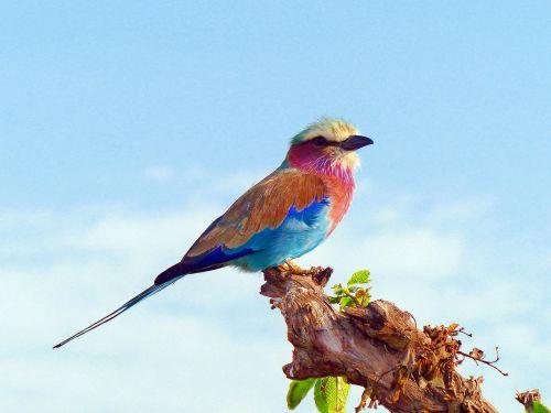 alyvinis krūtinės volelis,paukščiai,afrika,kenya,alyvinė,spalvinga,gamta
